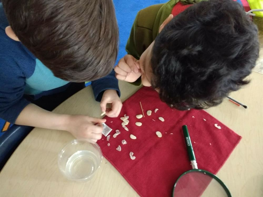 Students investigate seeds to identify the embryo.